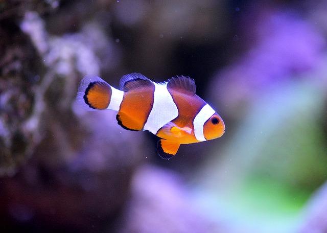 rybička Nemo v akváriu